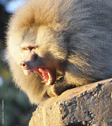 Photo  Baboon showing his teeth