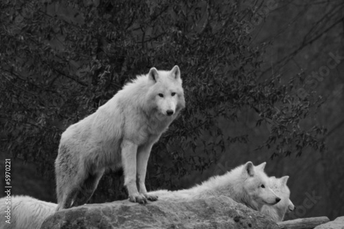 Papiers peints Loup Loup blanc