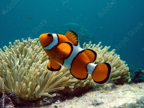 In de dag Onder water Clownfish and anemone