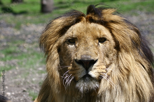 regard de lion Canvas Print