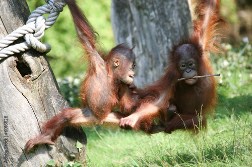 Photo  Two baby orang utans playing together in the sunshine