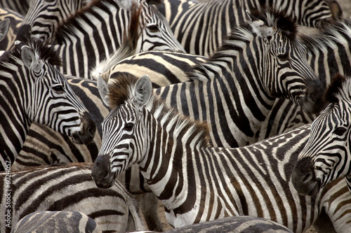Photo sur Aluminium Zebra zebras 2