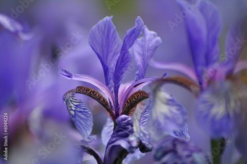 Foto op Aluminium Iris Iris