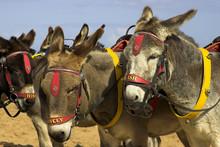 Donkeys At A U.K. Holiday Resort