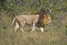 A Huge Male Lion Patrols His T...