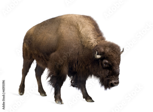 Photo sur Aluminium Buffalo Bison