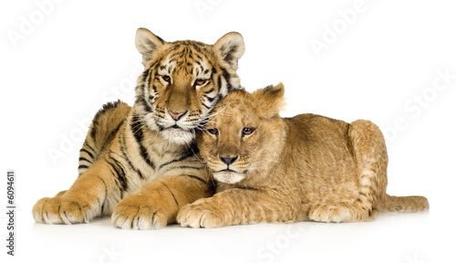 In de dag Tijger Lion Cub (5 months) and tiger cub (5 months)