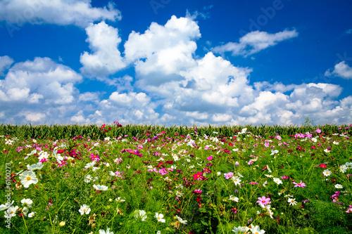 Fototapeta Champ fleuri avec ciel bleu et nuages obraz