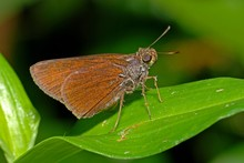 Delaware Skipper And Leaf In The Parks