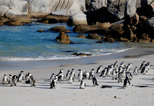 African Penguins On The Beach Of Atlantic Ocean(South Africa)