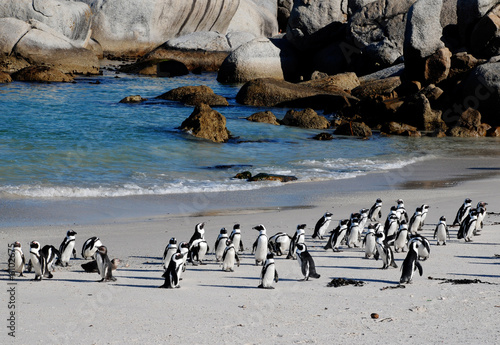 Poster Afrique du Sud african penguins on the beach of Atlantic Ocean(South Africa)