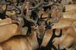 Group bighorn deer