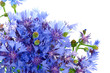 canvas print picture - bunch of cornflowers. Over white background