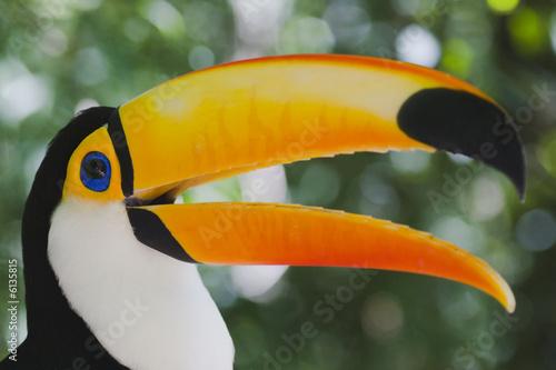 Fotobehang Toekan Farbenprächtiger Tukan - Ramphastos toco