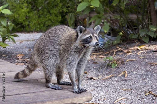 Carta da parati raccoon 01