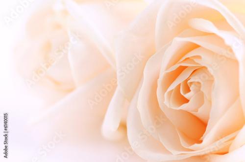 Foto-Schiebegardine ohne Schienensystem - Macro of two delicate beige roses on white background (von Elenathewise)