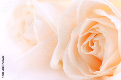Foto-Duschvorhang - Macro of two delicate beige roses on white background