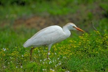 The Cattle Egret Belongs To Th...