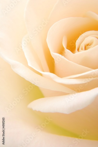 Fotobehang Macro Close-up of soft creamy white rose flower