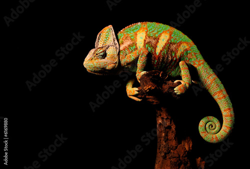Photo sur Aluminium Cameleon the chameleon