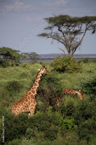 Fototapety, obrazy: Two giraffe feeding in the Masai Mara National Reserve