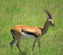 Gazelle Standing  On Its Own I...