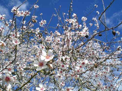 Mandelblüte Poster