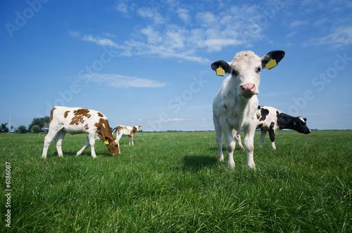 Fotografie, Obraz cute baby cow