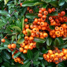 Pyracantha - Fire Thorn,orange Berries