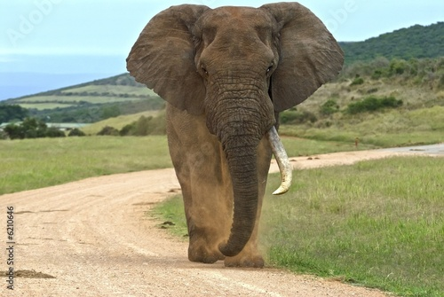 Foto op Aluminium Olifant This Elephant is known for his bad temper