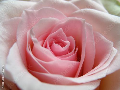 Foto-Schiebegardine ohne Schienensystem - rosenblüte