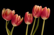 Five Tulips On Black