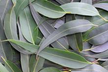 Gum Leaves Form A Full-frame Natural Background.