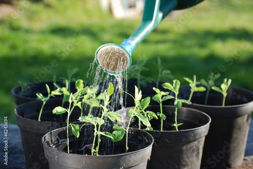 Stampa su Tela Watering Sweatpea Seedlings