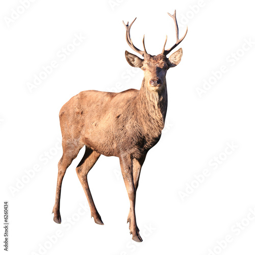 Poster Hert buck deer isolated with clipping path