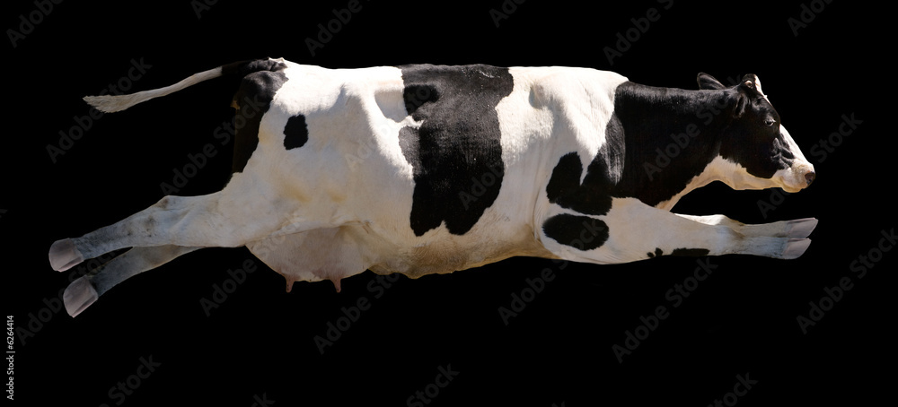 Fototapeta A flying cow isolated on black