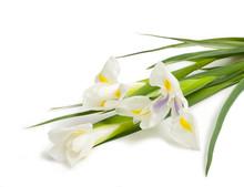 Bouquet Of Three White Iris On White Background