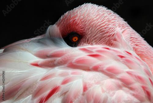 Fotografie, Obraz  american flamingo sleeping