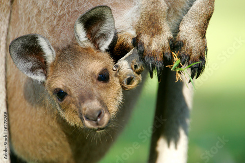 Fotobehang Kangoeroe Australian Kangaroos
