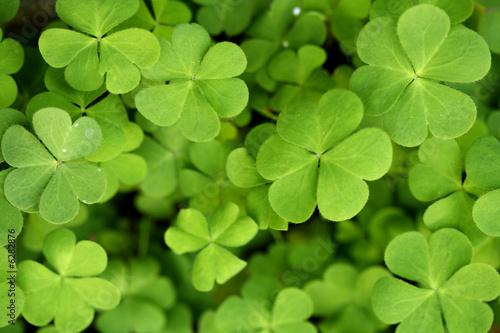 Valokuva  Clover leaves