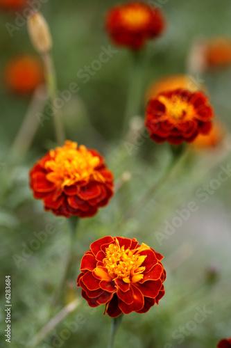 Poster Poppy Marigold flower garden