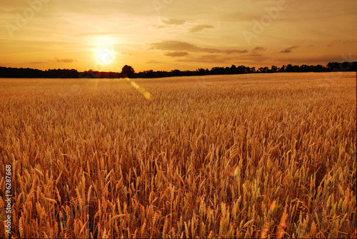 Poster Village Field of wheat at sunset