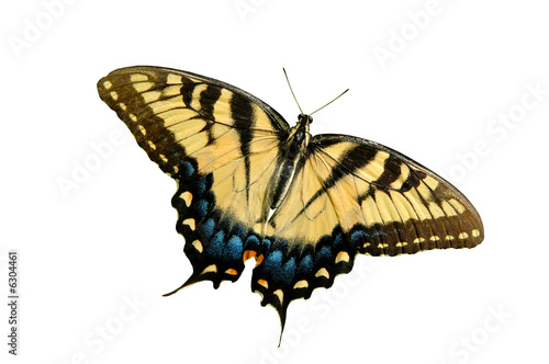 Fotomural Eastern Tiger Swallowtail butterfly isolated on white.