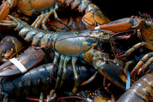 Live Lobsters Caught In Bar Ha...