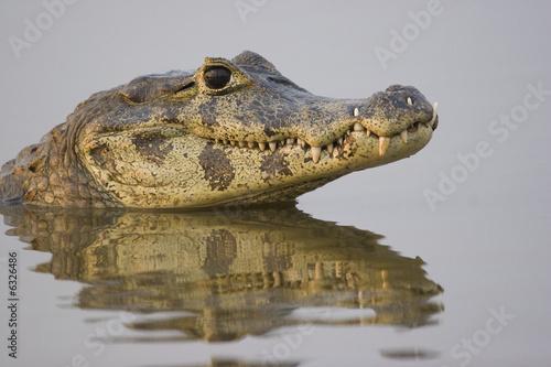Fotografija  Spectacled caiman (Caiman crocodilus), Pantanal, Brazil
