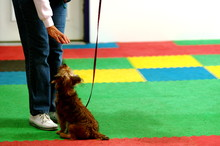 Dog Sits In Obedience Class And Waits For Treat