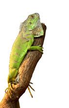 Iguana On A Tree On White Background