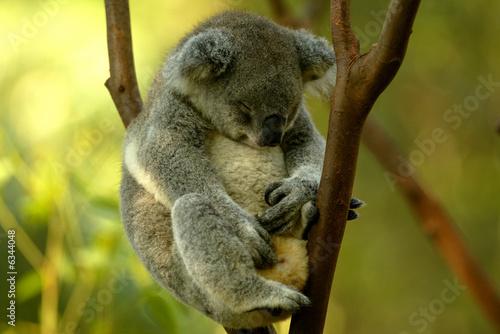 Printed kitchen splashbacks Australia Australian Koala