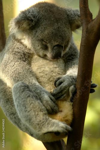 Staande foto Koala Australian Koala