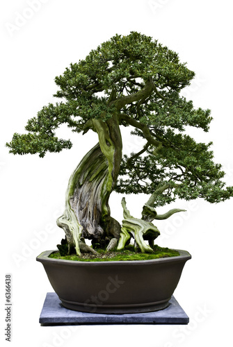 Spoed Foto op Canvas Bonsai Bonsai isolated on white